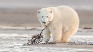 Baby Animal Cub Polar Bear Wildlife Predator Animal 2401x1600 wallpaper