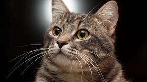 Cat Eyes Black Cats Animals Looking Away Simple Background Whiskers Feline 2560x1600 Wallpaper