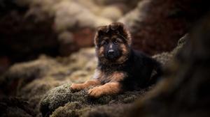 Baby Animal Dog German Shepherd Pet Puppy 2048x1363 Wallpaper