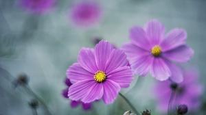 Cosmos Flower Nature Purple Flower 2048x1365 Wallpaper