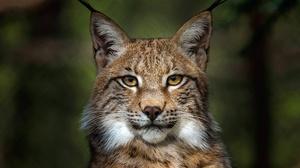 Big Cat Lynx Stare Wildlife Predator Animal 3840x2830 Wallpaper