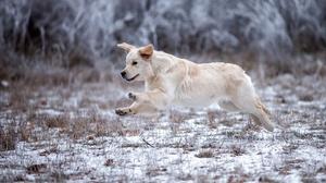 Baby Animal Dog Golden Retriever Pet Puppy 2880x1620 Wallpaper