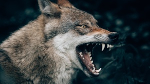 Fangs Muzzle Profile Wildlife Wolf 2200x1916 wallpaper