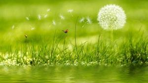 Dandelion Flower Grass Green Ladybug Plant Water 5000x2600 Wallpaper