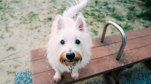 Animal West Highland White Terrier 2048x1367 wallpaper