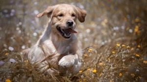 Dog Golden Retriever Pet 2048x1334 Wallpaper