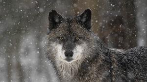 Wildlife Predator Animal Snowfall Stare 2048x1365 Wallpaper