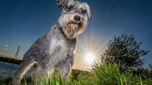 Animal Schnauzer 2048x1365 Wallpaper