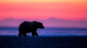 Bear Wildlife Predator Animal 1980x1114 Wallpaper