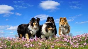 Dog Flower Meadow Pet Rough Collie 2048x1151 Wallpaper