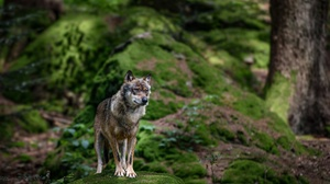 Wildlife Wolf Predator Animal 1920x1221 Wallpaper