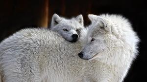 White Wolf Wolf Predator Animal 1920x1229 Wallpaper