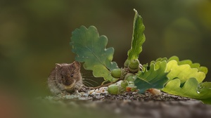 Acorn Blur Leaf Mouse Rodent Wildlife 2048x1293 Wallpaper