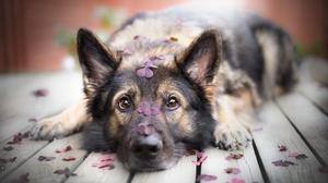 Depth Of Field Dog German Shepherd Muzzle Pet Stare 5167x3200 Wallpaper