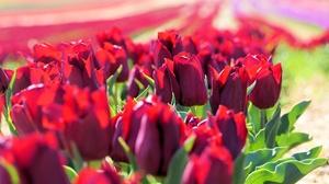 Flower Nature Red Flower Tulip 2048x1365 wallpaper