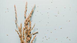Earth Wheat 4460x2935 Wallpaper
