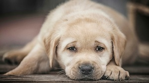 Baby Animal Dog Labrador Retriever Pet Puppy 2048x1365 Wallpaper