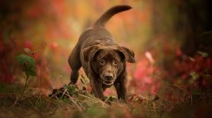 Baby Animal Dog Labrador Retriever Pet Puppy 2048x1326 Wallpaper