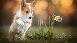 Baby Animal Corgi Dog Pet Puppy 2048x1365 Wallpaper