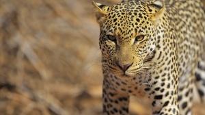 Big Cat Wildlife Predator Animal 2400x1602 Wallpaper