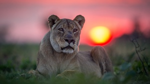 Big Cat Depth Of Field Lion Sunset Wildlife Predator Animal 2000x1333 wallpaper