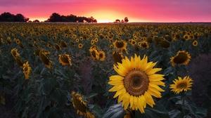 Field Flower Summer Sunflower Yellow Flower 2048x1295 Wallpaper