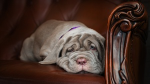 Dog Mastiff Pet 2000x1302 wallpaper