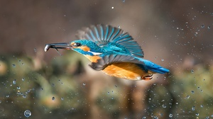 Bird Kingfisher Wildlife 3209x2122 Wallpaper