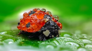 Insect Ladybug Macro Water Drop 2048x1312 Wallpaper