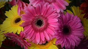 Earth Flower Gerbera Pink Flower Yellow Flower 6000x4000 wallpaper