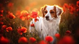Pet Poppy Flower Red Flower 2048x1366 Wallpaper