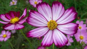 Cosmos Flower Purple Flower 3840x2400 Wallpaper