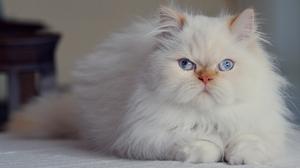 Fluffy Cat Pet 1920x1280 Wallpaper