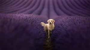Dog Lavender Pet Depth Of Field Field Flower 2048x1363 Wallpaper