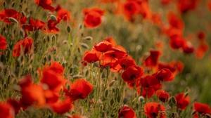 Flower Poppy 3840x2160 Wallpaper