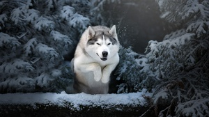 Dog Husky Pet Winter 4565x3191 Wallpaper