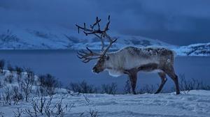 Norway Reindeer Snow Winter 1920x1244 Wallpaper
