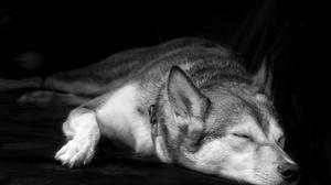 Black Amp White Husky Muzzle Pet Sleeping 3000x2253 Wallpaper