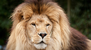 Big Cat Lion Predator Animal 2048x1365 wallpaper