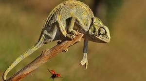 Animal Chameleon Ladybug Lizard Reptile Wildlife 2048x1437 Wallpaper