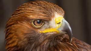 Animal Eagle 1920x1080 Wallpaper