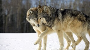 Animal Snow Wildlife Winter Wolf Predator Animal 1920x1080 Wallpaper