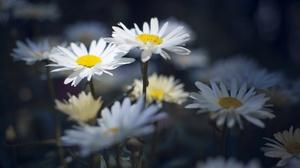Daisy Flower Nature White Flower 3840x2370 Wallpaper