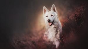 Dog Pet Swiss Shepherd 2048x1365 wallpaper