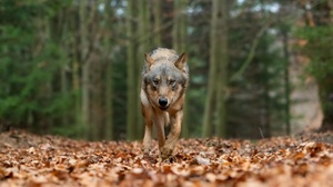 Wildlife Wolf Predator Animal 3372x2248 Wallpaper