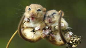Cute Dormouse Love Mouse Rodent Wildlife 3000x2022 Wallpaper