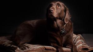 Brown Close Up Dog Labrador Retriever Pet 6000x4800 Wallpaper