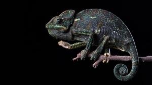 Animal Chameleon 2430x1367 Wallpaper