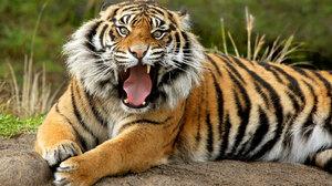 Animal California Cat San Diego Sumatran Tiger Tiger 1920x1200 wallpaper
