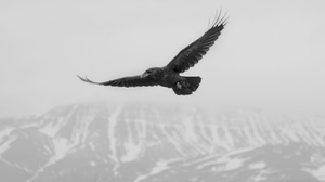 Bird Black Amp White Crow 2048x1486 Wallpaper